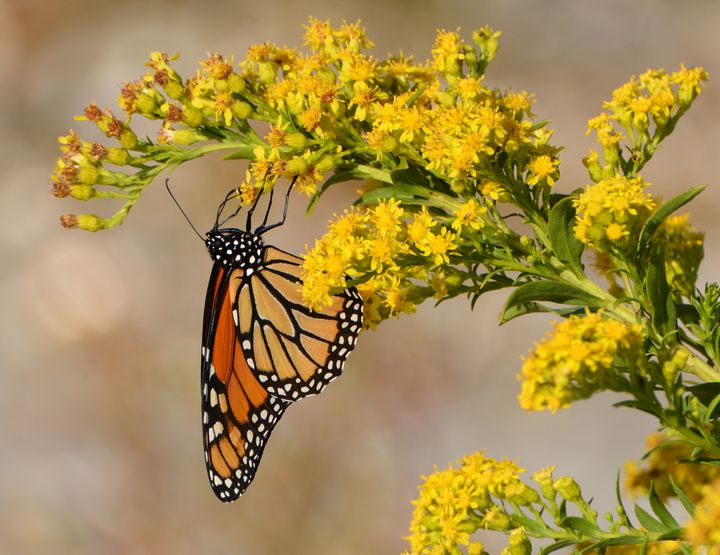 Monarch on Goldenrods - NatureBabe Photos