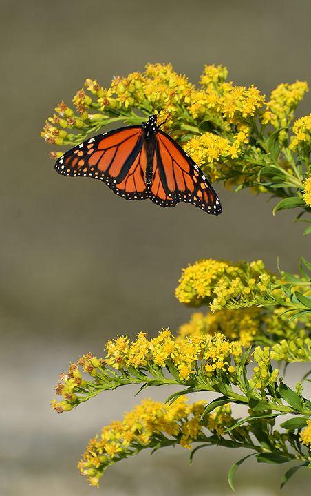 September Monarch - NatureBabe Photos