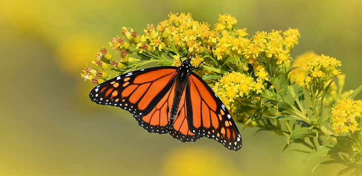 Monarch and Goldenrods - NatureBabe Photos