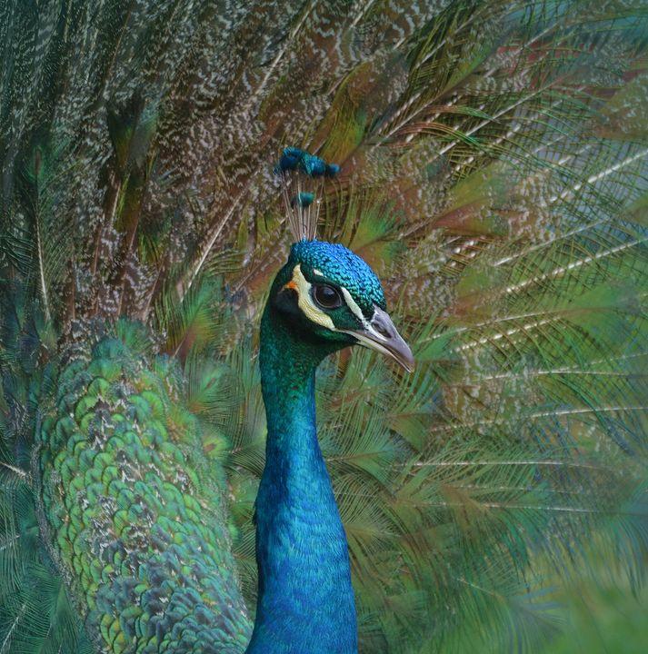 Peacock Displaying New Feathers - NatureBabe Photos