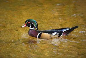 Male Wood Duck in Autumn - NatureBabe Photos