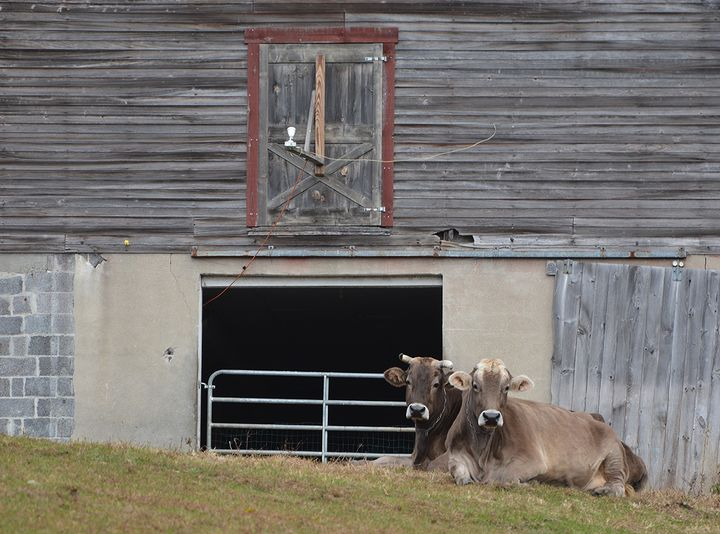 Country Cows - NatureBabe Photos