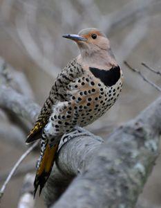 Female Northern Flicker - NatureBabe Photos