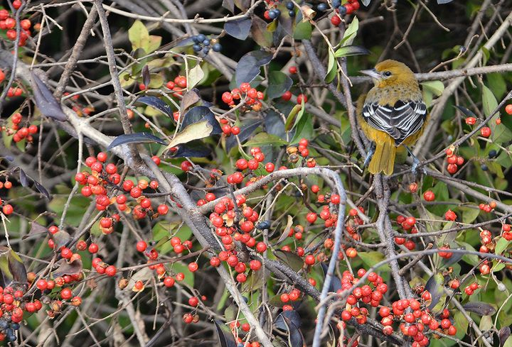 Baltimore Oriole and Winterberries - NatureBabe Photos