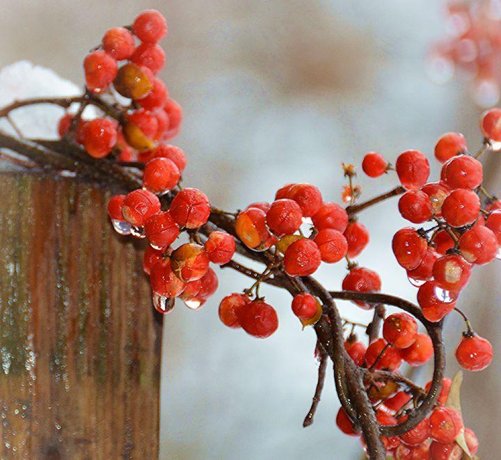 Winterberries in Melting Snow - NatureBabe Photos