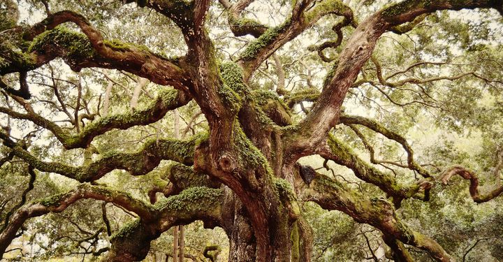 The Angel Oak - NatureBabe Photos