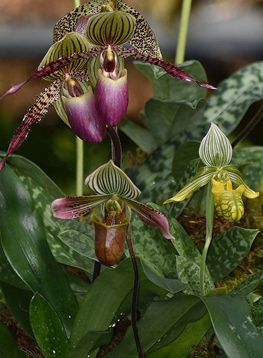Lady Slipper Orchids - NatureBabe Photos