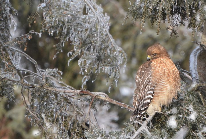 Wintry Red-Shouldered Hawk - NatureBabe Photos