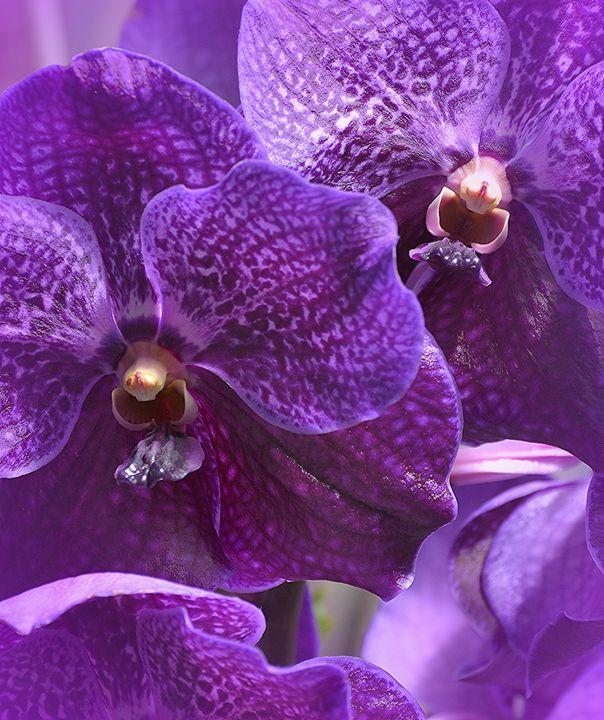 Purple Majesty - NatureBabe Photos