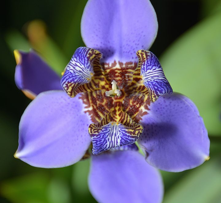 Pansy Orchid - NatureBabe Photos