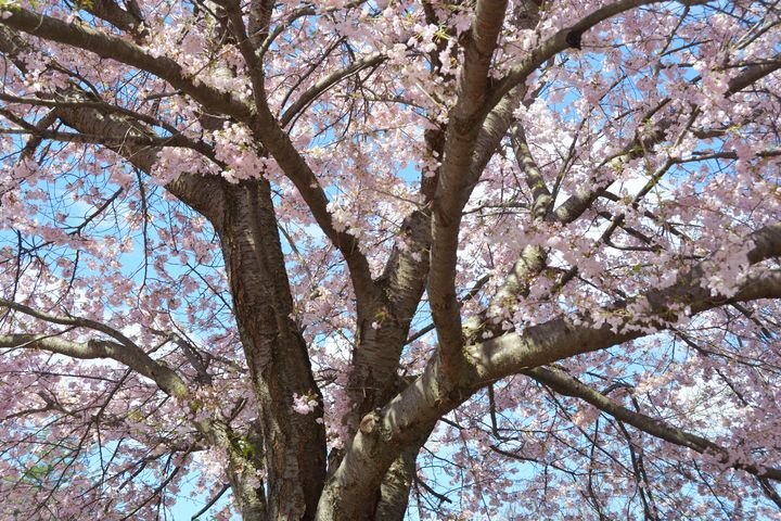 Cherry Tree in Connecticut - NatureBabe Photos