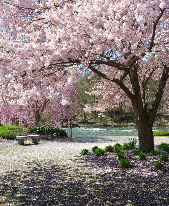 Cherry Blossoms in the Park - NatureBabe Photos