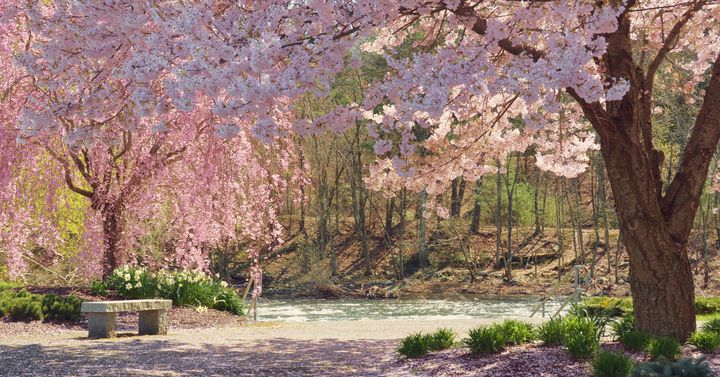 Cherry Blossoms Along the River - NatureBabe Photos
