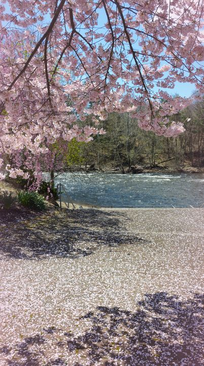 Cherry Blossom Petals on the Pathway - NatureBabe Photos