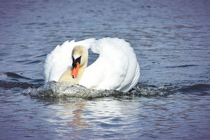 Male Swan Busking - NatureBabe Photos