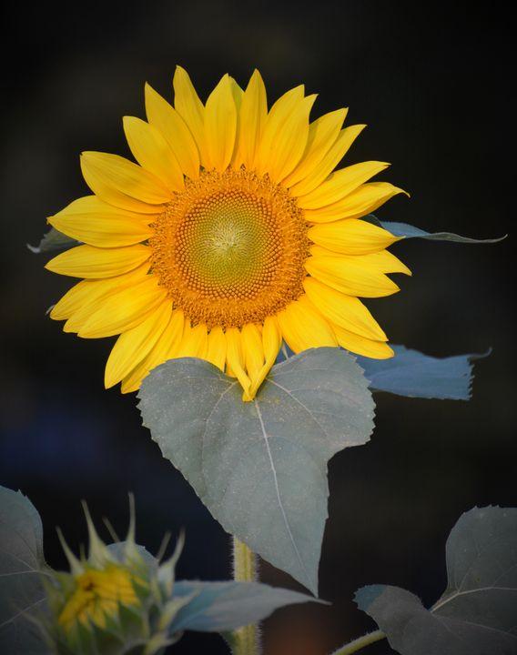 Sunflower Standing Tall - NatureBabe Photos