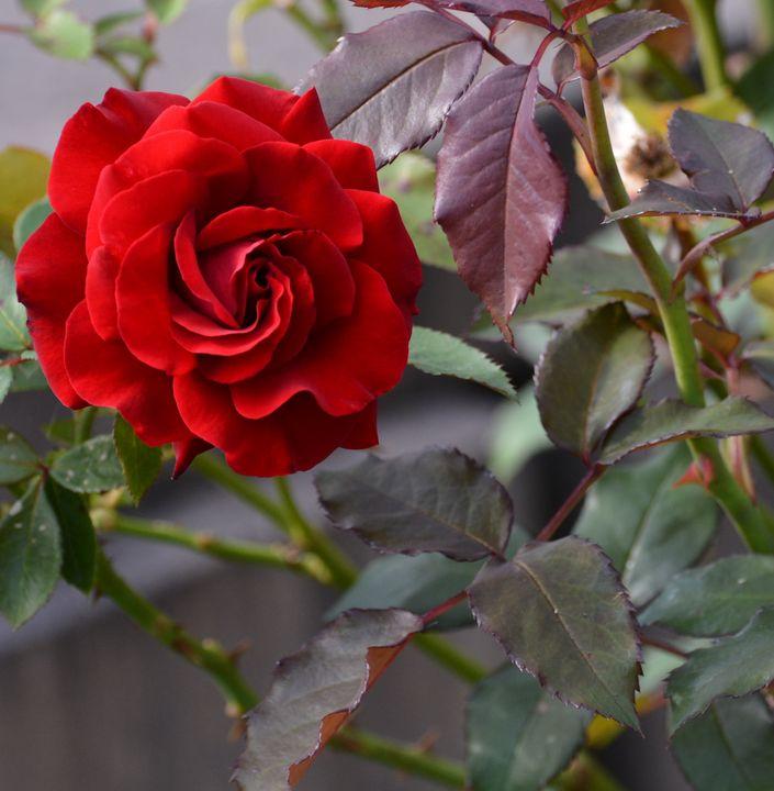 Red Rose - NatureBabe Photos
