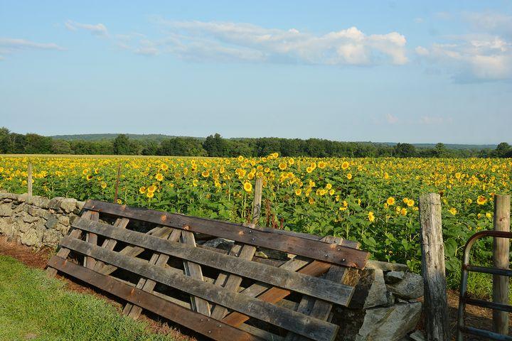 Acres of Sunflowers - NatureBabe Photos