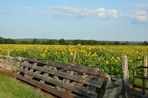 Acres of Sunflowers