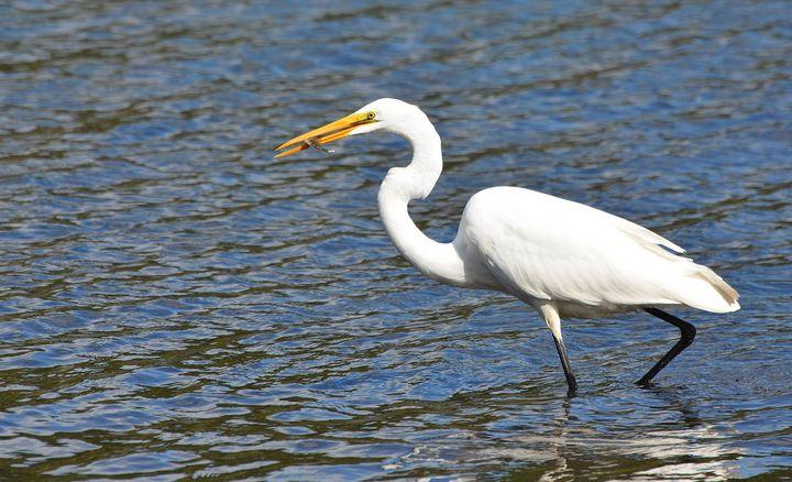 Egret at Lake Waramaug - NatureBabe Photos