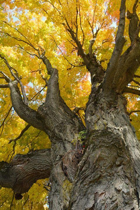 Tulip Tree in Fall - NatureBabe Photos