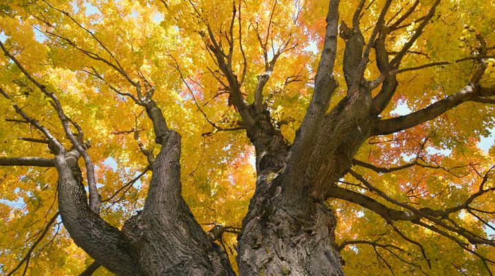 """""""Golden Arches"""" of an old Tulip Tree - NatureBabe Photos"""