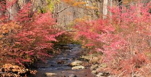 Creekside Winged Burning Bush