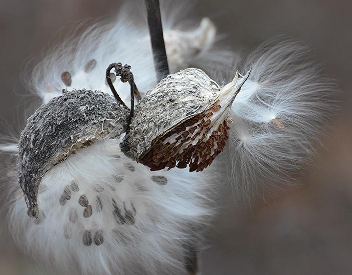 Milkweed in November - NatureBabe Photos