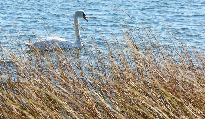 Swan Amid the Grass - NatureBabe Photos