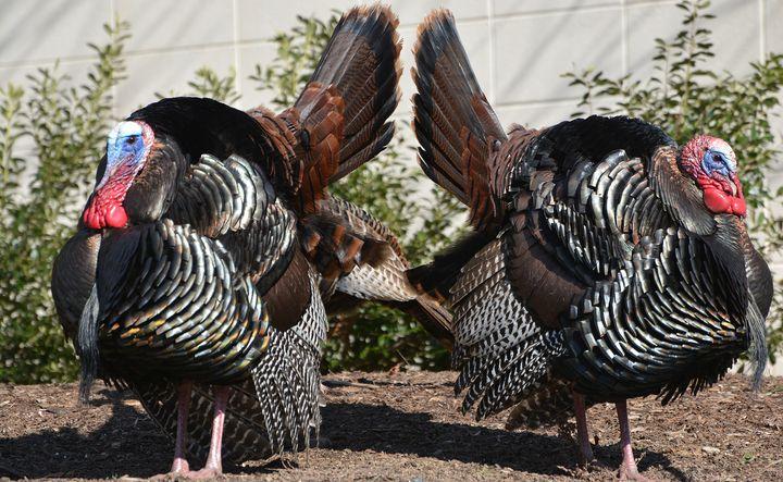 Turkey Twins - NatureBabe Photos