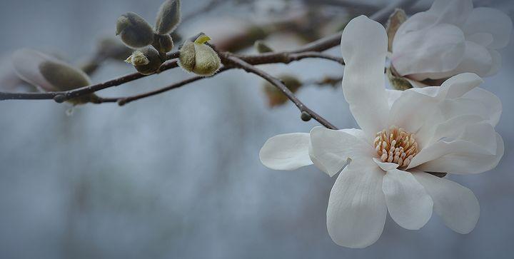 Magnolia Bloom - NatureBabe Photos