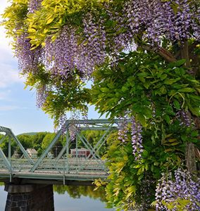 Bridge of Flowers Wisteria Tree - NatureBabe Photos
