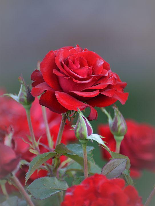 Bright Red Roses - NatureBabe Photos