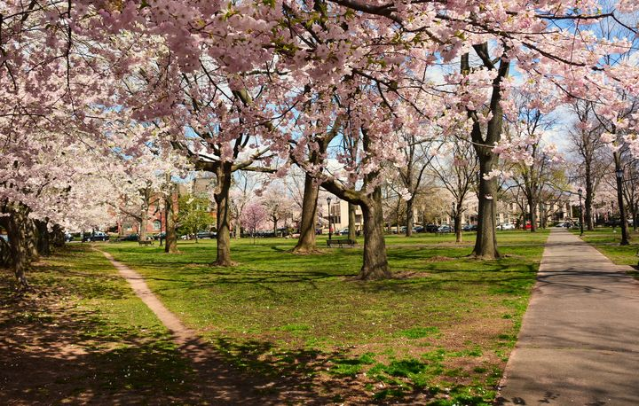 Wooster Square Cherry Blossoms - NatureBabe Photos