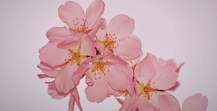 Cherry Blossom Macro Shot - NatureBabe Photos