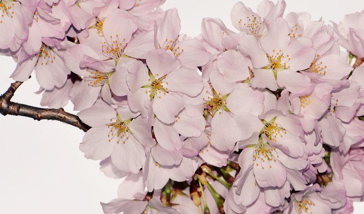 Springtime Cherry Blossoms - NatureBabe Photos
