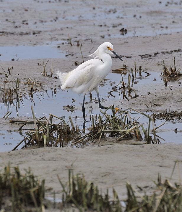 Snowy Egret at theBeach - NatureBabe Photos