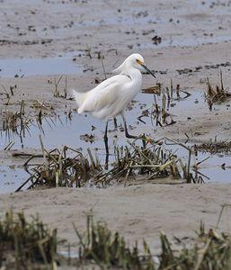 Snowy Egret at theBeach - NatureBabe Photos