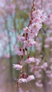 Weeping Cherry Tree Blossoms - NatureBabe Photos