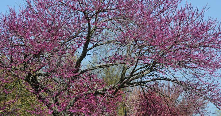Eastern Redbud Tree - NatureBabe Photos