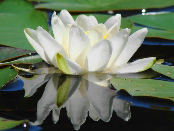 Water lilies 11 - Anetart Aneta Srodon
