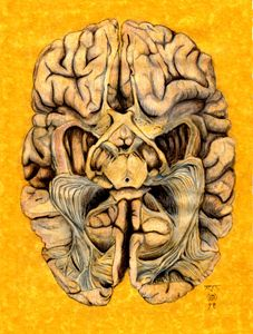 Brain section: visual neural pathway