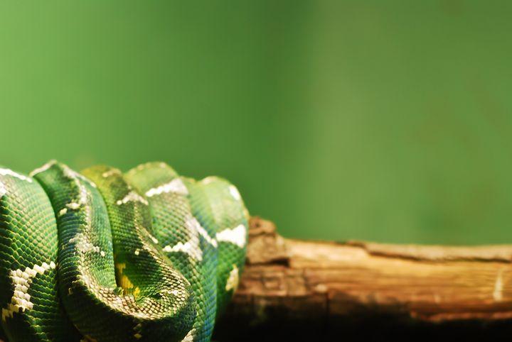 Green Culebra - NAJE Foto