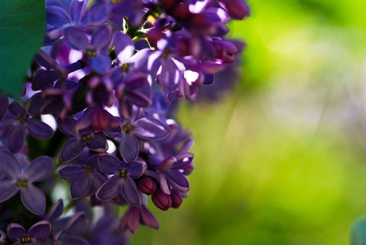 Lilacs - NAJE Foto