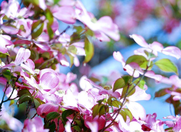 Pink Dogwood - NAJE Foto