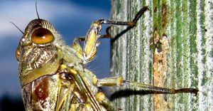 Cicada Close Up - John Williams