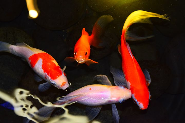 Koi fishes - Ngtimages