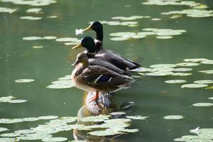 Three little ducks - Ngtimages