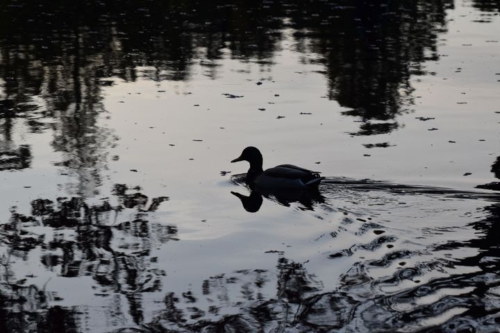 Blk/wht duck - Ngtimages