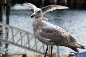 Seagull on the fence - Ngtimages